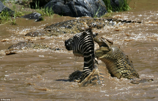 crocodile attacking a zebra