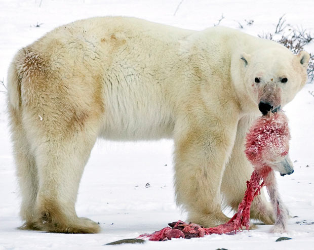 polar beer eating its young