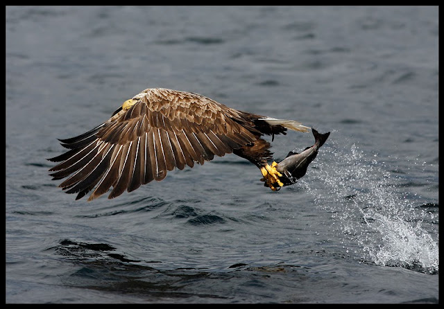 eagle catching a fish