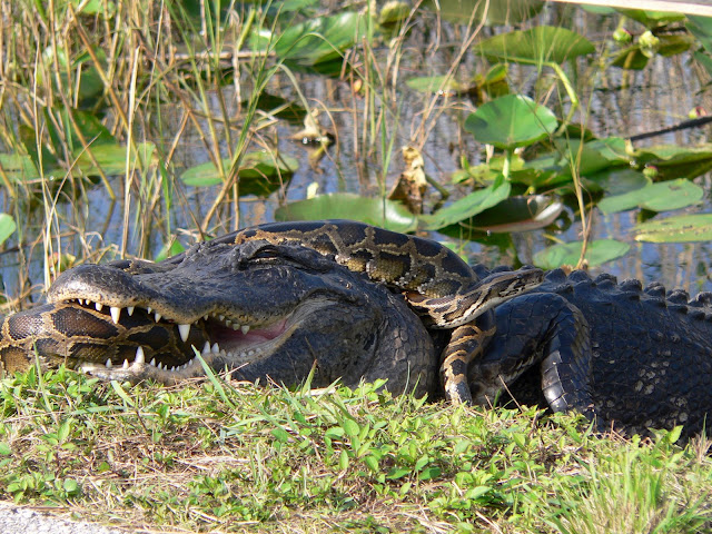 python alligator fight everglades