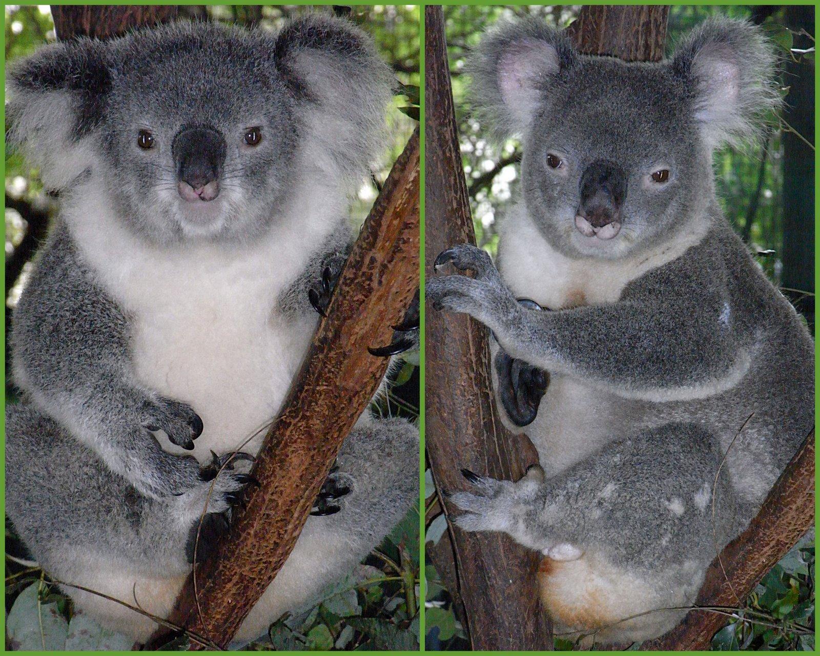Difference Between Kangaroo And Koala Clipart 39 Amazing