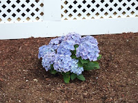 picture of hydrangea
