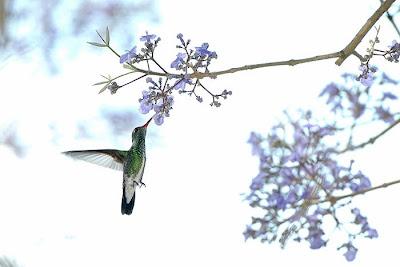 beija-flor-ama-fim-64820-72.jpg