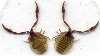 Animals Lovers: A tiny scorpion - pseudoscorpion