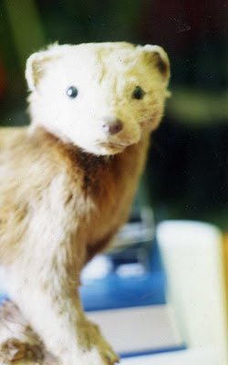 Cryptozoology Online Still On The Track The Last Cornish Pine Marten