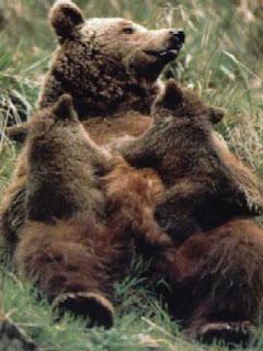 Resultado de imagen de osos pardos ibericos