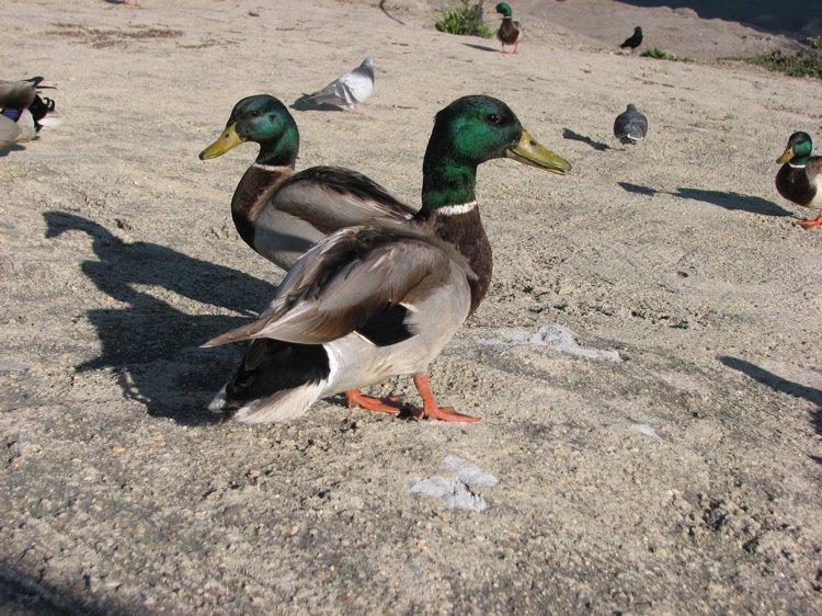 [ducks1.jpg]
