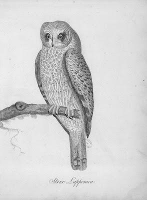 Chouette de Laponie Strix lapponica gravure ancienne