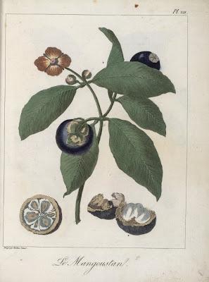 Flore d'Asie : Mangoustan gravure ancienne couleur