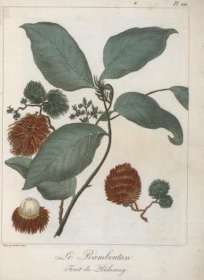 Flore d Asie : Ramboutan gravure ancienne couleur