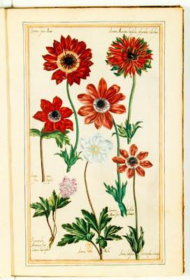 Anémones et renoncules gravure couleur ancienne