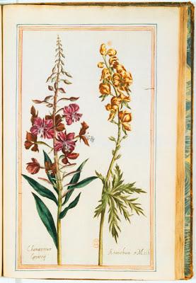 Aconit et Epilobe - aconithum et chamanerium gravure couleur ancienne