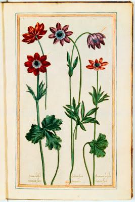 Anémones gravure couleur ancienne