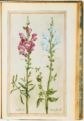 Muflier (antirrhinum) gravure couleur ancienne