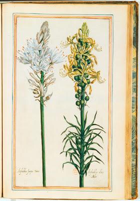 Asphodèle gravure couleur ancienne
