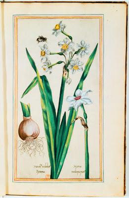 Bulbe et fleurs de narcisses gravure couleur ancienne
