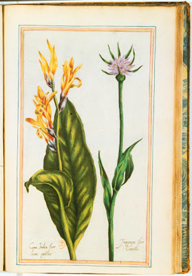 Gravure ancienne couleur de fleurs de Canna et de Salsifis (Tragopogon)