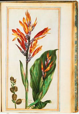 Gravure ancienne couleur de Canna indica