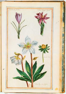 Gravure ancienne couleur de fleurs de Colchique, Aconit, Crocus et Ellébore
