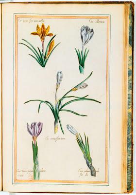 Gravure ancienne couleur de fleurs de Crocus