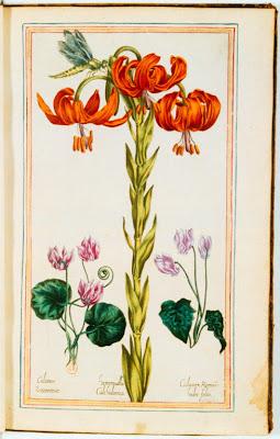 Gravure ancienne couleur de fleurs de Cyclamens et Hémérocalle