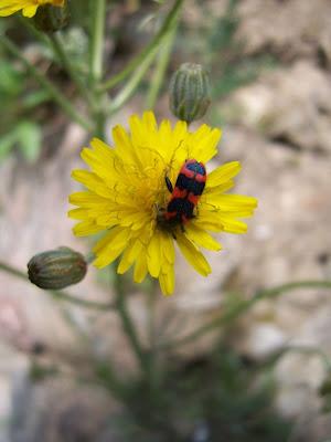 Insecte - Clairon (Trichodes apiarius)