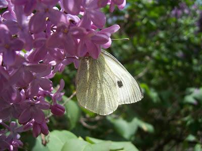 Papillon - Piéride du chou sur fleurs de lilas