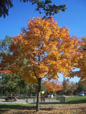 Superbes couleurs de l'érable en automne