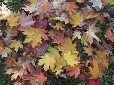 Superbe tapis de feuilles d'érables en automne