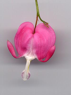 Coeur de marie fleur de mon jardin