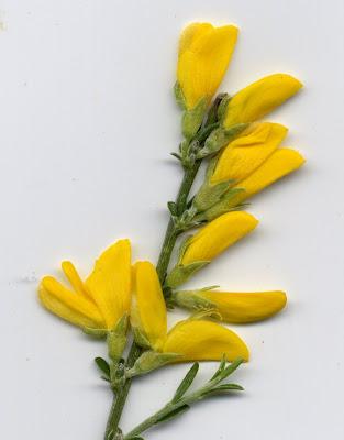 Fleurs de genets