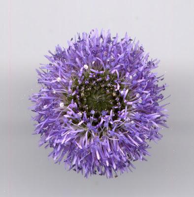 Fleur de globulaire