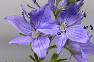 Fleurs de Véronique