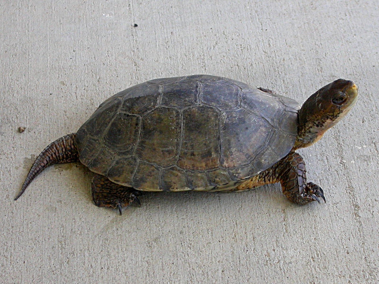 [Western+Pond+Turtle+-+lateral.jpg]