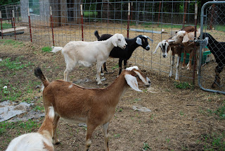 Comparing fencing for goats, what works and what doesn't, the pros and cons of each, and my recommendation for the most effective fencing that will keep your goats in their pen.