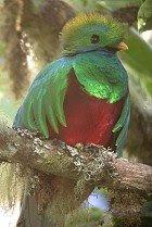 Image result for viuda de la montaña o airón (Pharomacrus pavoninus)