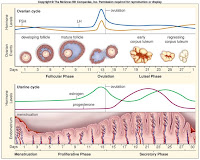 evaluation of progesterone and estrogen biology essay Steroid endocrines viz lipo-lutin, estrogen were estimated through tlc in a concentration and clip dependent mode ie 25mg/ml, 50mg/ml for 30 & a  45.