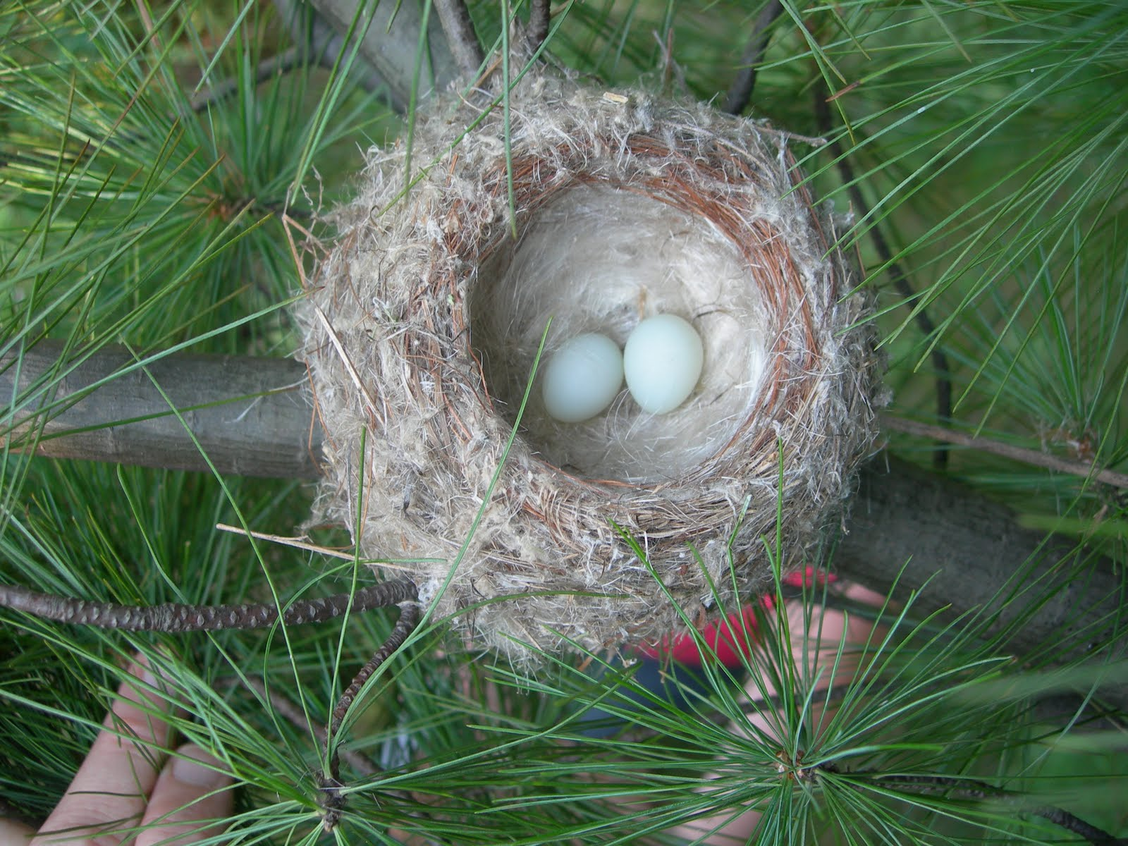 american goldfinch nest - photo #1