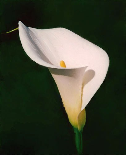 Summer flower calla lily for Calla lily flower meaning