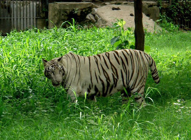 One round inside Delhi Zoo with Travelling Camera: Posted by VJ SHARMA on www.travellingcamera.com : Photographs on Delhi ZooLast weekend I went to Delhi Zoo with some of my friends and had good fun there.. Here are few photographs clicked inside the Delhi Zoo.. Watchful yet lazy tiger among medium high grassTiger looks like it has eaten its fullWhite Tigers in Delhi Zoo: Compared to orange tigers without the white gene, white tigers tend to be larger both at birth and at full adult size. Currently, several hundred white tigers are in captivity worldwide with about 100 of them in India, and their numbers are on the increase.For more details Click HereLioness looks like she is yawningLioness in Delhi Zoo : There are two places where Lions can be seen inside Delhi Zoo. One is behind the place where you see lot of Giraffes walking in a big ward. Other one is near Crocodile pond. To know more about Lions Click HereEMU in Delhi Zoo : Emus are in same row where you will find a large group of White Tigers & Elephants. Emu is also the second-largest extant bird in the world by height, after its ratite relative, the ostrich. The Emu is common over most of mainland Australia, although it avoids heavily populated areas, dense forest and arid areas.Know MoreLooks like Zebra stripped the patch clean of grassZebra in Delhi Zoo: There is a large area where Zebras could be seen in the zoo. We saw four Zebras in Zoo. Delhi Zoo has some Zebras from San Diego in some exchange program. They are best known for their distinctive white and black stripes, which come in different patterns unique to each individual. They are generally social animals and can be seen in small harems to large herds.Know MoreLeopard through a fence, the bars barely visibleLeopard in Delhi Zoo : We saw only two leopard in Delhi Zoo. To know more about Leopards click hereHippopotamus in Delhi Zoo: During the day they remain cool by staying in the water or mud; reproduction and childbirth both occur in water. Know MoreGiraffe in Delhi Zoo: the tallest of all land-living animal species. Know MorePeacocks in Delhi Zoo: In Zoo you will hear Peacock sound all around but its hard to find them in June-July because they generally go inside deep forest and there is grass at most of the places which hide them. The male peacock flares out its feathers when it is trying to get the females attention. During mating season they will often emit a very loud high pitched cry. Know MoreBig crocodile, but looking the other wayCrocodile in Delhi Zoo: Know MoreBlackBucks...(Kala Hiran)Now most of the Indians must be knowing about Blackbucks and Salman can never forget because he has spent some time in jail for black buck poaching case.A deer, always looking like its caught in the headlightsBlack Bear seemingly advancing on usSloth BearBirds in Delhi Zoo (Don't know right name of these birds)Chinkara Know MoreWhite Deer are also there in Delhi Zoo but we missed them because we were not following Zoo map :( ... I suggest to spend 10 minutes on Zoo map & plan accordingly. Most of the times we get to know that Tiger is on this side & we change our route. Same thing happened with us and we realized that we missed some animals :(.... SO PLAN YOUR ROUTE BEFORE STARTING ZOO EXPLORATION...The Delhi Zoo is an ideal place to spend a day with friends, family and children. The experience is fun and educational as well. The Zoo at Delhi was set up in 1957 over a sprawling expanse of 240 acres area. Animals have been imported from various jungles of Asia, America, Africa and Australia and no stone has been left unturned to preserve their natural environment and habitat.A day spent at the Delhi Zoo may be a peaceful picnic, observing these exotic creatures at close quarters and learning more about their habitat, feeding habits and lifecycle. The zoo is also a botanist's paradise. Many different varieties of trees and shrubs are found here.The Delhi Zoo remains closed on Friday and on other days the zoo timings are 8 am to 6 pm in summers and 9 am to 5 pm in winters. An admission fee of Rs. 10 per head is charged at the Delhi Zoo.I have tried to share Photographs of most the animals in Delhi Zoo. Please share your comments, so that I can improve this blog by sharing the details in better way.Photograph of White Tiger in Delhi Zoo