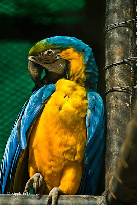 Posted by Ripple (VJ) ; Colorful Birds @ Delhi Zoo : A Blue and Gold Macaw
