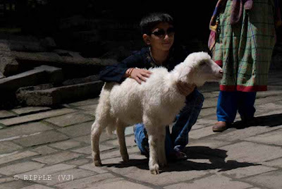 Upcoming Model with snow-white Sheep @ Hadimba Temple, Manali: Posted by Ripple (VJ) : ripple, Vijay Kumar Sharma, ripple4photography, Frozen Moments, photographs, Photography, ripple (VJ), VJ, Ripple (VJ) Photography, Capture Present for Future, Freeze Present for Future, ripple (VJ) Photographs , VJ Photographs, Ripple (VJ) Photography :