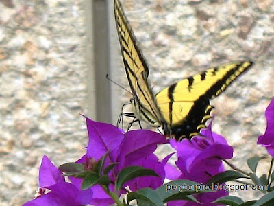 http://mexicodailyphoto.blogspot.com/2007/05/mariposa-amarilla-flor-morada.html