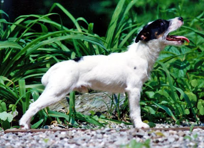 Born To Track Blog Jack Russell Terriers As Blood Trackers