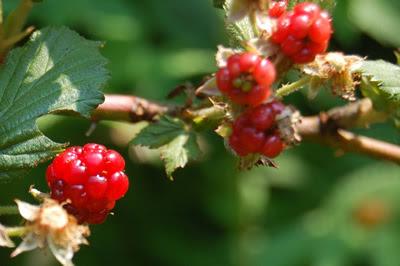 Wild raspberries.