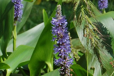 Blue flowers, Saylors Grove.