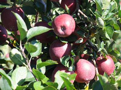 Eating local: Pick Your Own apples