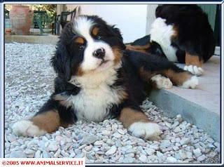 Guida alla scelta del cane, come orientarsi, www.animalservice.it