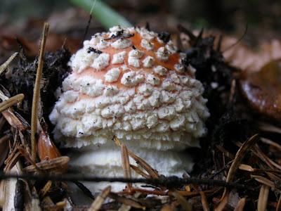Ζουρλομανιταρο η Αμανίτης Μυγοκτόνος (Amanita Muscaria)