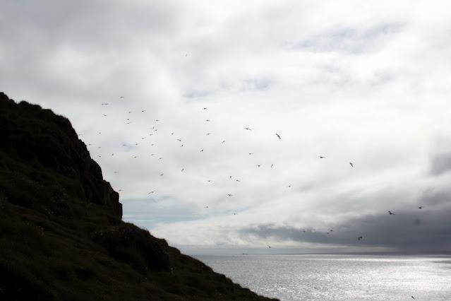 Pulcinella di mare alla penisola di Làtrabjarg